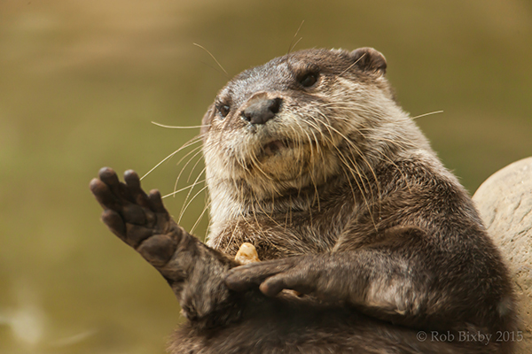 Juggling Otter Dropped His Rock