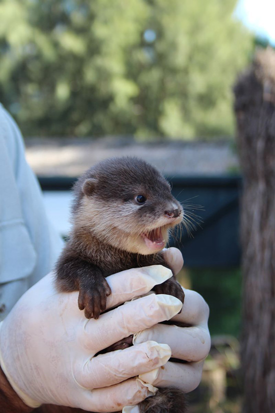New Otter Pups at Australia's Taronga Zoo! 1
