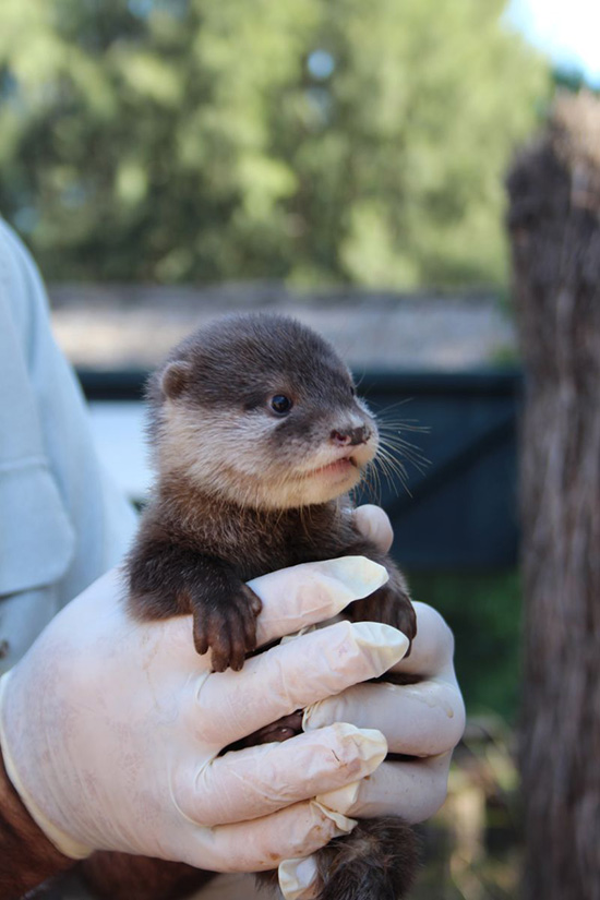 New Otter Pups at Australia's Taronga Zoo! 2
