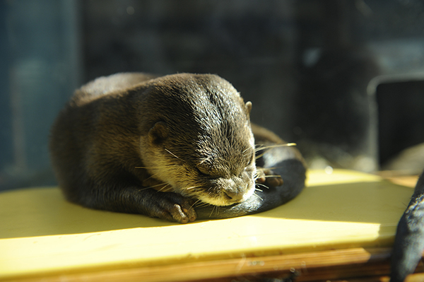 Otter Curls Up with His Tail