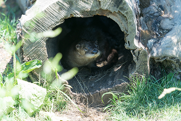 Otter Hides Out in a Hollow Log