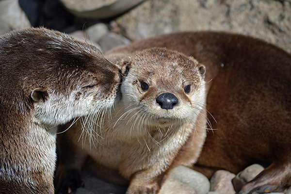 Otter Nuzzles His Friend