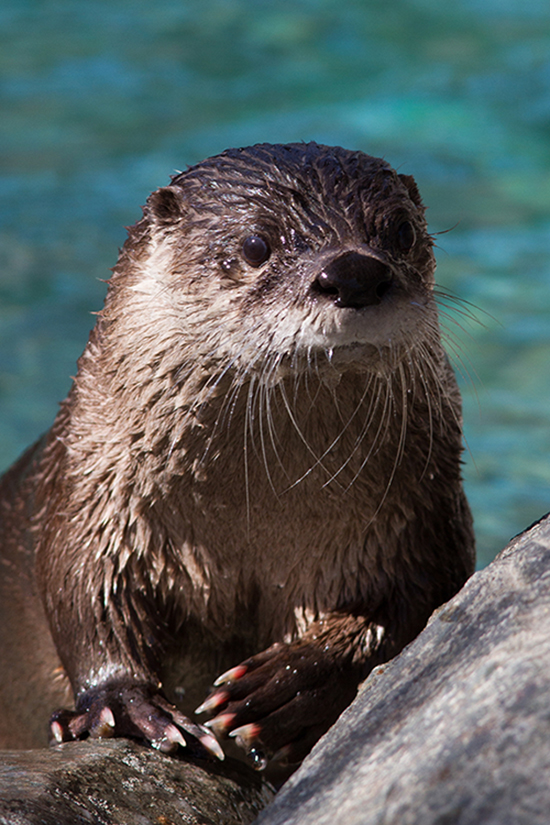 Otter Poses for a Nice Portrait