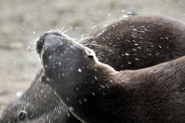 Otter Shakes Water Off His Fur