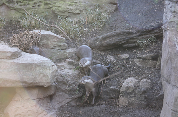 Otters Use Teamwork to Gather Branches for a Nest 3