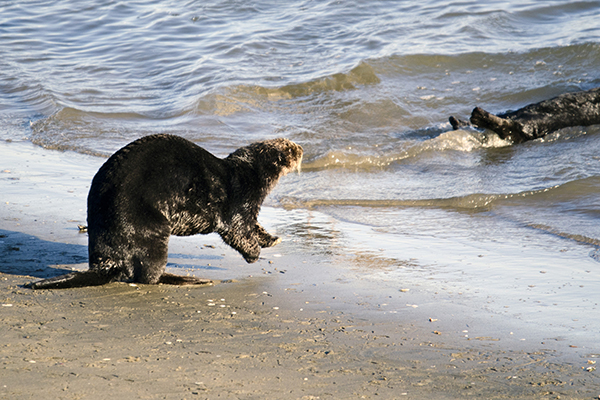 Sea Otter Heads to the Water to Join His Friend