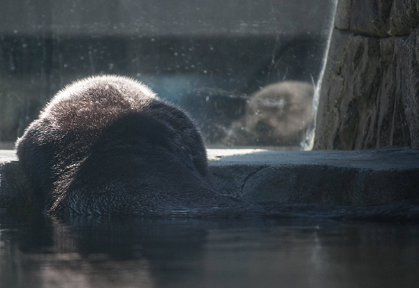 Sea Otter Hoists Herself Out of the Pool