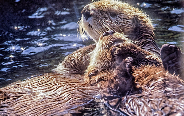 Sea Otter Holds Her Friend Close