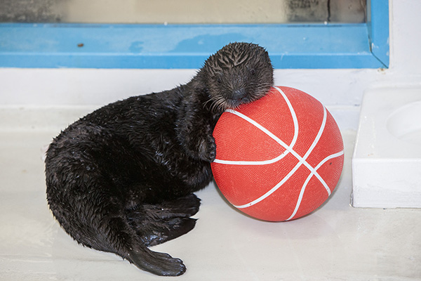 Sea Otter Pup Luna Has a Basketball 2