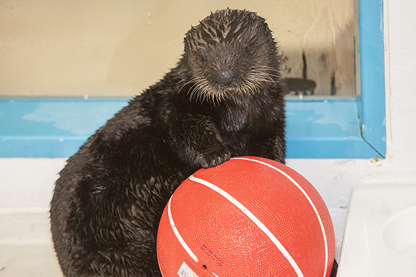 Sea Otter Pup Luna Has a Basketball 4