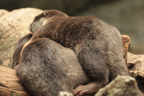 Supportive Otter Puts an Arm Around His Friend