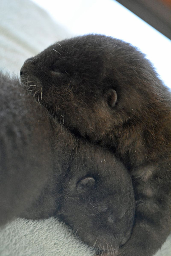 Newborn Otter Pups at Rosamond Gifford Zoo! 1