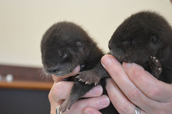 Newborn Otter Pups at Rosamond Gifford Zoo! 3
