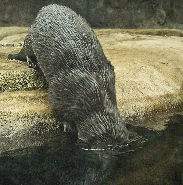 Otter Dunks His Head to Check Out the Fish Situation