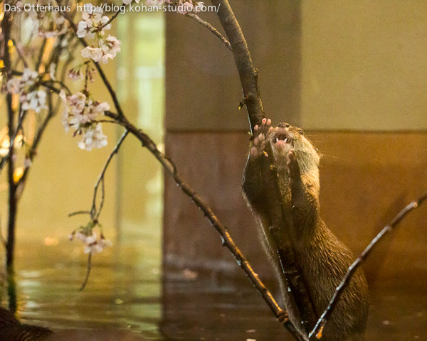 Otter Is Excited the Cherry Blossoms Are Growing Back