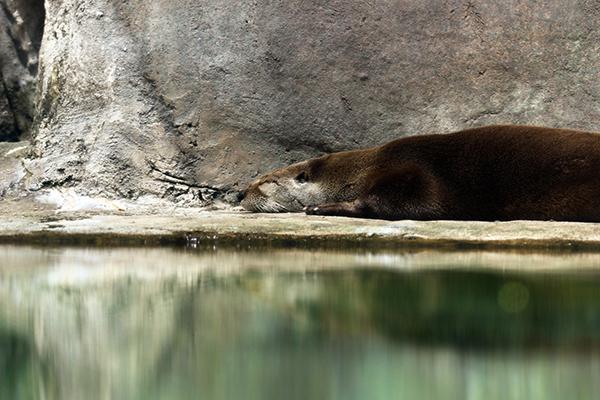 Otter Naps Next to the Pool