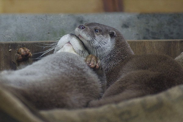 Otters Relax and Snuggle Together