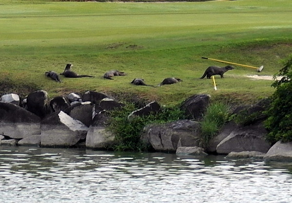 Otters Take Over a Golf Course