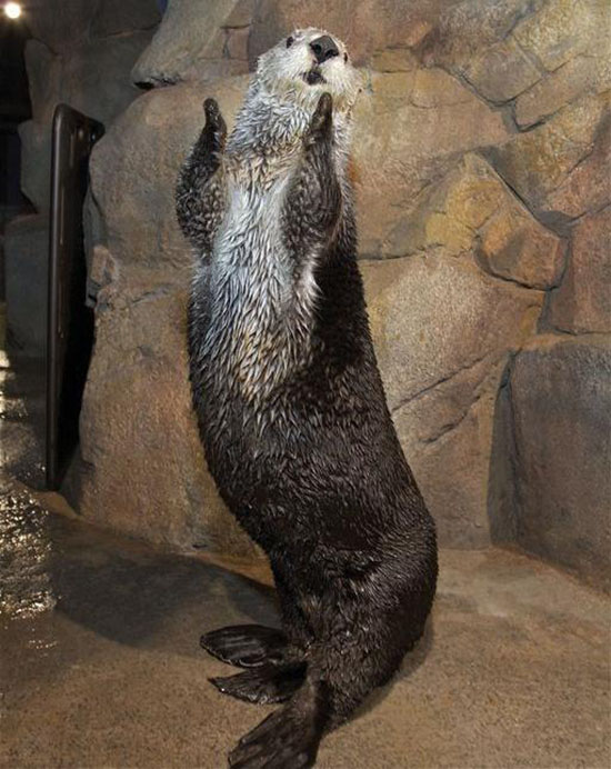 Sea Otter Wants Everyone To Clap Their Hands The Daily Otter