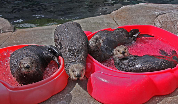 Sea Otters Lounge in Their Puppy Pools