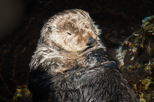 Wild Sea Otter Naps in Monterey Bay Aquarium's Outside Pool 2