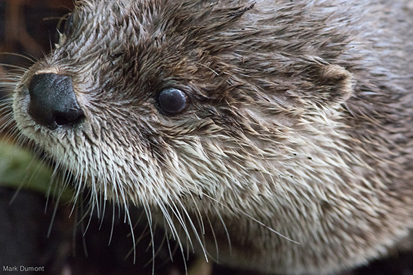Closeup of Otter's Fur, Nose, and Tiny Little Ear