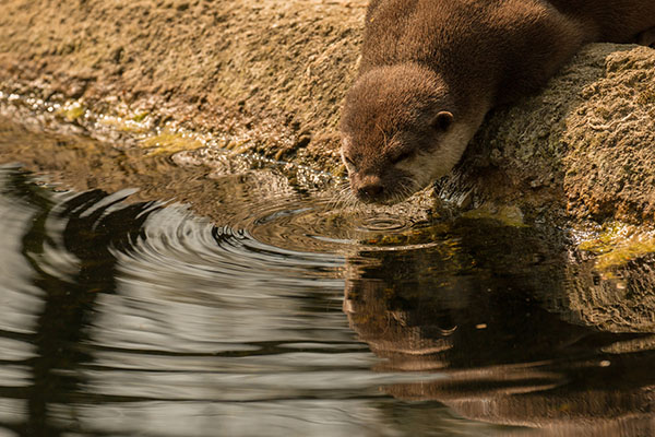 Narcissus Otter Gazes at His Reflection in the Water