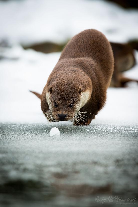 Otter Hunts a Snowball