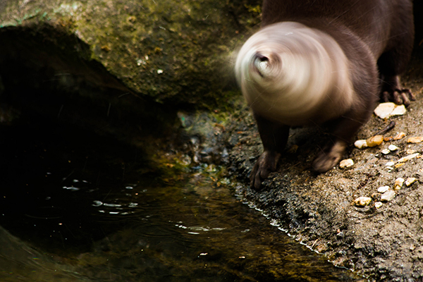 Otter Shakes So Fast He's Become a Blur
