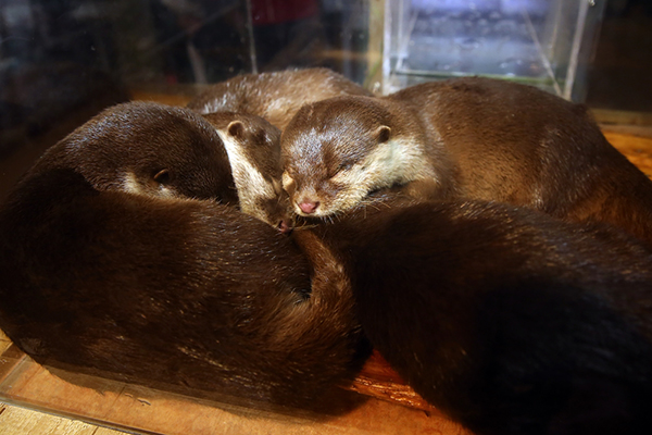 Otters Curl Up for a Cozy Nap