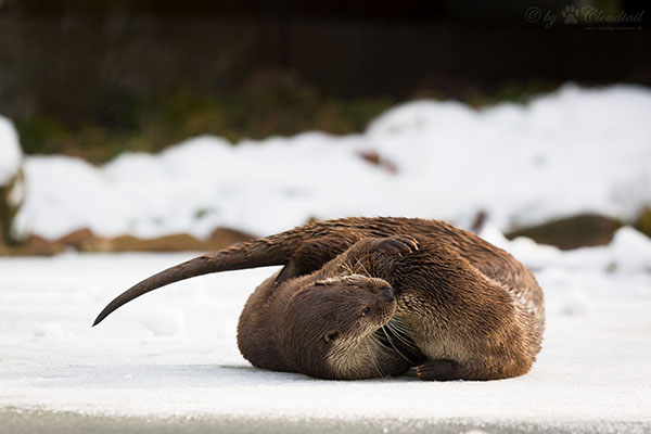 Otters Have a Tussle in the Snow