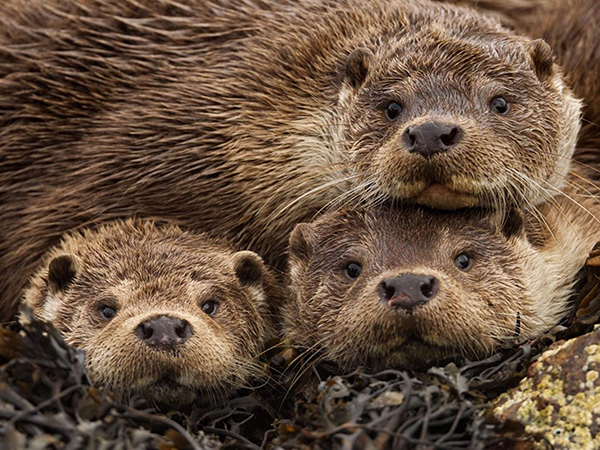 Otters Pile Up for a Photo