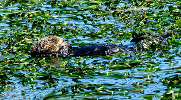 Sea Otter Naps Surrounded by Kelp