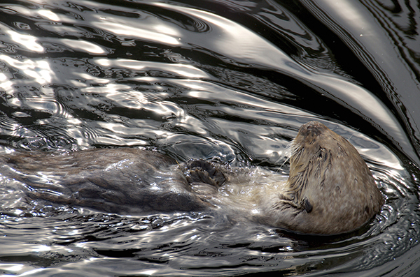 Sea Otter Pushes Through Glassy Water