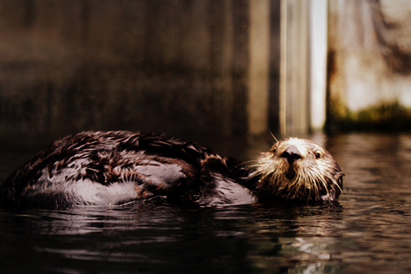 Sea Otter Scrubs Her Tail