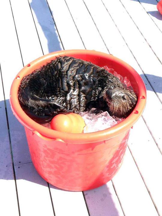 Sea Otter Spends a Hot Afternoon in a Bucket of Ice