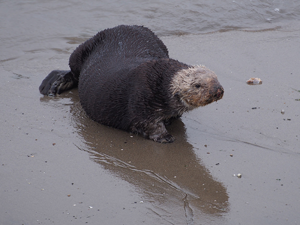 Sea Otter Takes a Break from the Sea for the Beach