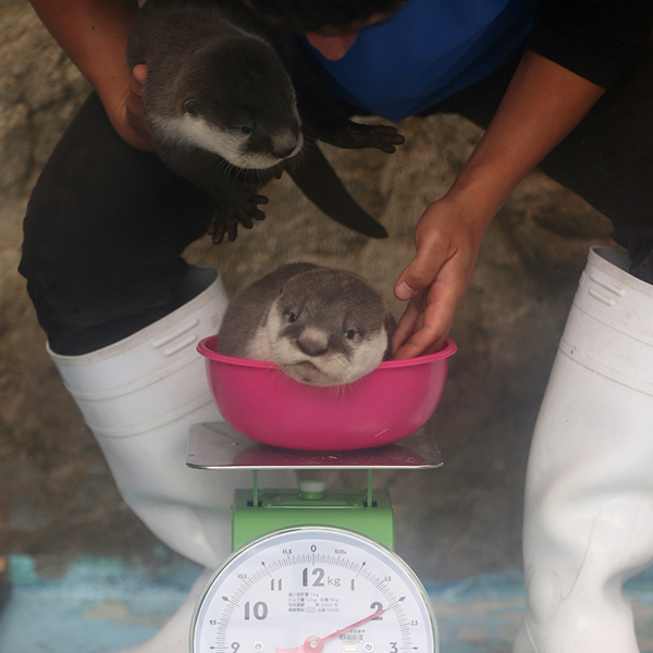 Time to Weigh the Otter Pups!