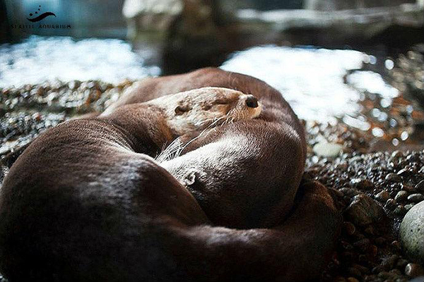 Cuddling Otters Nap Without a Care in the World