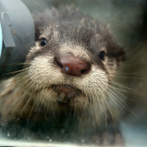 Little Otter Pup Is Curious About the Camera