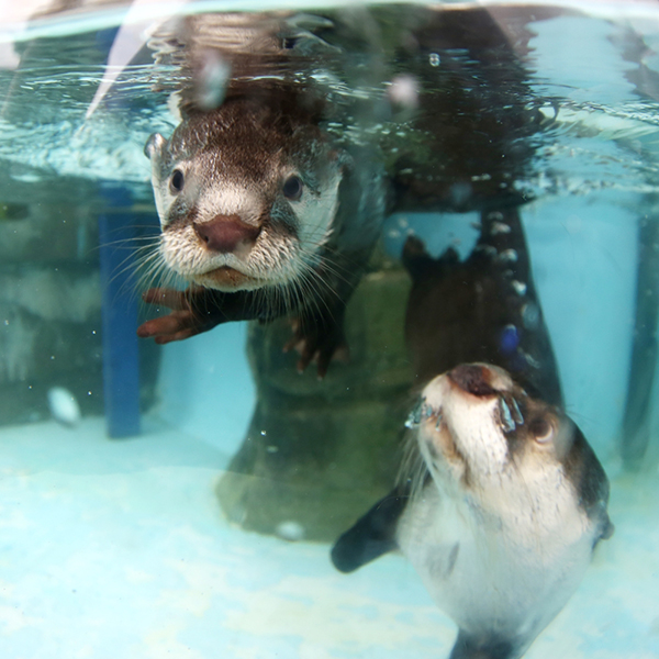 Mother Otter Keeps a Close Eye on Her Pup During Swimming Lessons 1