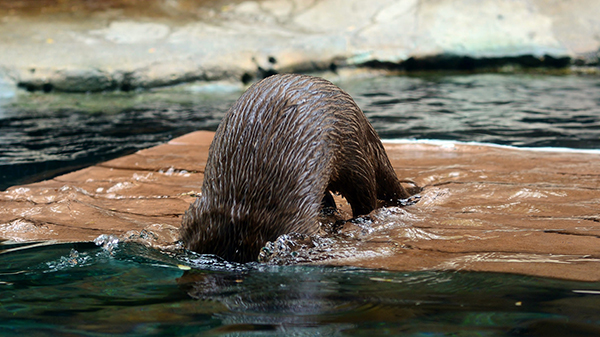 Otter Dunks His Head in the Water