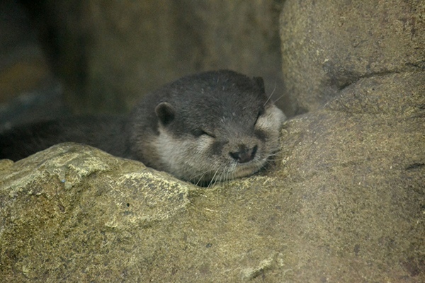 Otter Has Found a Cozy Spot for a Quick Nap