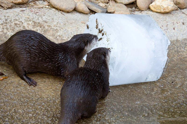 Otter Keep Cool with a Giant Ice Cube