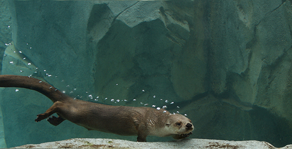Otter Leaves a Trail of Bubbles Underwater