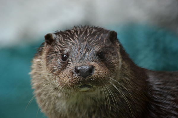 Otter Looks Right Into the Camera