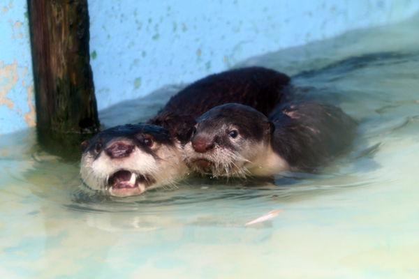 Otter Mother and Pup Swim Side by Side
