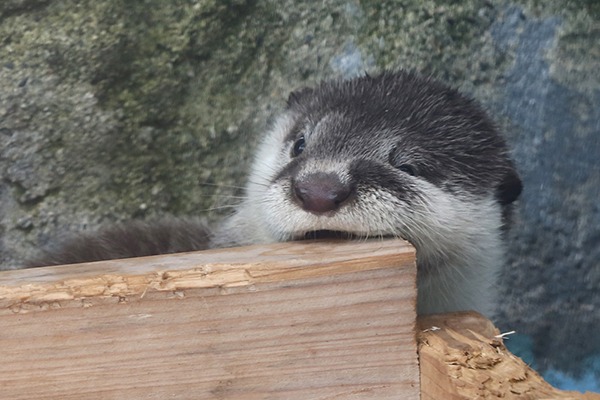 Otter Pup Samples Some Wood