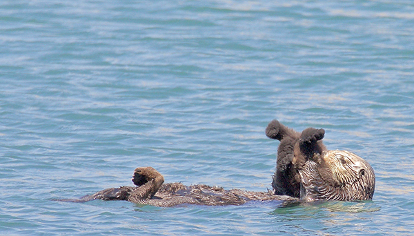 Sea Otter Mother Holds Her Pup Upside Down for Grooming
