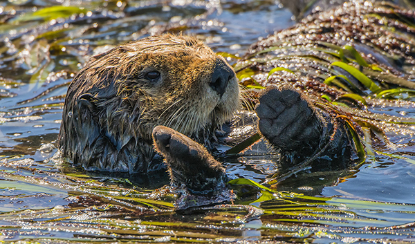 Sea Otter Needs a Friend to Play Kelp Cat's Cradle with Her